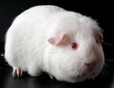 What Breed Of Guinea Pig Is Right For You Quiz At Quiztron