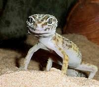 Do You Know About Geckos Quiz At Quiztron
